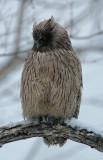 BIRD - OWL - BLAKISTON'S FISH OWL - YOROUSHI ONSEN, DAIICHI SPA - HOKKAIDO JAPAN (13).JPG