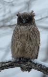 BIRD - OWL - BLAKISTON'S FISH OWL - YOROUSHI ONSEN, DAIICHI SPA - HOKKAIDO JAPAN (15).JPG