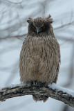 BIRD - OWL - BLAKISTON'S FISH OWL - YOROUSHI ONSEN, DAIICHI SPA - HOKKAIDO JAPAN (16).JPG