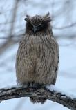 BIRD - OWL - BLAKISTON'S FISH OWL - YOROUSHI ONSEN, DAIICHI SPA - HOKKAIDO JAPAN (19).JPG