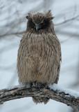 BIRD - OWL - BLAKISTON'S FISH OWL - YOROUSHI ONSEN, DAIICHI SPA - HOKKAIDO JAPAN (6).JPG