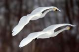 BIRD - SWAN - WHOOPER SWAN - AKAN INTERNATIONAL CRANE CENTER - HOKKAIDO JAPAN (11).JPG