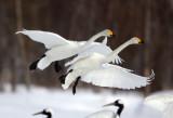 BIRD - SWAN - WHOOPER SWAN - AKAN INTERNATIONAL CRANE CENTER - HOKKAIDO JAPAN (14).JPG