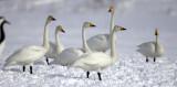 BIRD - SWAN - WHOOPER SWAN - AKAN INTERNATIONAL CRANE CENTER - HOKKAIDO JAPAN (15).JPG