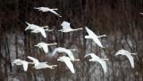 BIRD - SWAN - WHOOPER SWAN - AKAN INTERNATIONAL CRANE CENTER - HOKKAIDO JAPAN (18).JPG