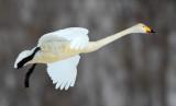 BIRD - SWAN - WHOOPER SWAN - AKAN INTERNATIONAL CRANE CENTER - HOKKAIDO JAPAN (19).JPG