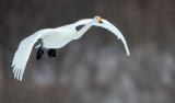 BIRD - SWAN - WHOOPER SWAN - AKAN INTERNATIONAL CRANE CENTER - HOKKAIDO JAPAN (2).JPG
