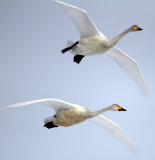 BIRD - SWAN - WHOOPER SWAN - AKAN INTERNATIONAL CRANE CENTER - HOKKAIDO JAPAN (23).JPG