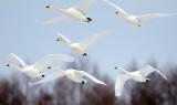 BIRD - SWAN - WHOOPER SWAN - AKAN INTERNATIONAL CRANE CENTER - HOKKAIDO JAPAN (31).JPG