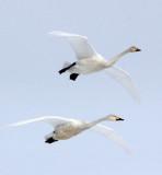 BIRD - SWAN - WHOOPER SWAN - AKAN INTERNATIONAL CRANE CENTER - HOKKAIDO JAPAN (53).JPG