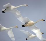 BIRD - SWAN - WHOOPER SWAN - AKAN INTERNATIONAL CRANE CENTER - HOKKAIDO JAPAN (6).JPG