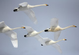 BIRD - SWAN - WHOOPER SWAN - AKAN INTERNATIONAL CRANE CENTER - HOKKAIDO JAPAN (9).JPG