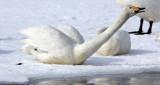 BIRD - SWAN - WHOOPER SWAN - KUSSHARO LAKE - HOKKAIDO JAPAN (21).JPG
