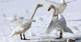 BIRD - SWAN - WHOOPER SWAN - KUSSHARO LAKE - HOKKAIDO JAPAN (32).JPG