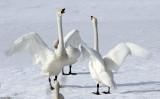 BIRD - SWAN - WHOOPER SWAN - KUSSHARO LAKE - HOKKAIDO JAPAN (37).JPG