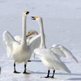 BIRD - SWAN - WHOOPER SWAN - KUSSHARO LAKE - HOKKAIDO JAPAN (52).JPG
