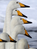 BIRD - SWAN - WHOOPER SWAN - KUSSHARO LAKE - HOKKAIDO JAPAN (58).JPG