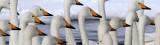 BIRD - SWAN - WHOOPER SWAN - KUSSHARO LAKE - HOKKAIDO JAPAN (60).JPG