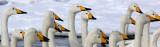 BIRD - SWAN - WHOOPER SWAN - KUSSHARO LAKE - HOKKAIDO JAPAN (63).JPG