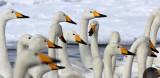 BIRD - SWAN - WHOOPER SWAN - KUSSHARO LAKE - HOKKAIDO JAPAN (65).JPG