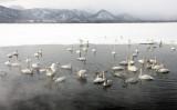 BIRD - SWAN - WHOOPER SWAN - KUSSHARO LAKE, HOKKAIDO JAPAN (17).JPG