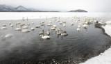 BIRD - SWAN - WHOOPER SWAN - KUSSHARO LAKE, HOKKAIDO JAPAN (22).JPG