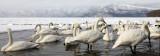 BIRD - SWAN - WHOOPER SWAN - KUSSHARO LAKE, HOKKAIDO JAPAN (28).JPG