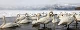 BIRD - SWAN - WHOOPER SWAN - KUSSHARO LAKE, HOKKAIDO JAPAN (29).JPG
