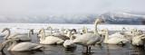 BIRD - SWAN - WHOOPER SWAN - KUSSHARO LAKE, HOKKAIDO JAPAN (31).JPG