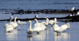 BIRD - SWAN - WHOOPER SWAN - NOTSUKE PENINSULA - HOKKAIDO JAPAN (3).JPG
