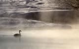 BIRD - SWAN - WHOOPER SWAN - OTOWABASHI - TSURUI TOWN - HOKKAIDO JAPAN (5).JPG