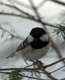 BIRD - TIT - COAL TIT - KINOHIROBA PARK - ABASHIRI - HOKKAIDO JAPAN (3).JPG