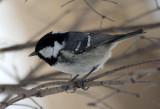 BIRD - TIT - COAL TIT - KINOHIROBA PARK - ABASHIRI - HOKKAIDO JAPAN (5).JPG