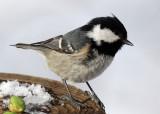 BIRD - TIT - COAL TIT - KINOHIROBA PARK - ABASHIRI - HOKKAIDO JAPAN (7).JPG