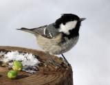 BIRD - TIT - COAL TIT - KINOHIROBA PARK - ABASHIRI - HOKKAIDO JAPAN (9).JPG