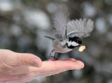 BIRD - TIT - COAL TIT - KINOHIROBA PARK - ABASHIRI - HOKKAIDO JAPAN.JPG