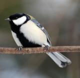 BIRD - TIT - GREAT TIT - KINOHIROBA PARK, ABASHIRI HOKKAIDO JAPAN (1).JPG