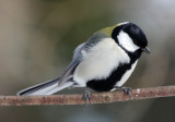 BIRD - TIT - GREAT TIT - KINOHIROBA PARK, ABASHIRI HOKKAIDO JAPAN (10).JPG
