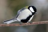 BIRD - TIT - GREAT TIT - KINOHIROBA PARK, ABASHIRI HOKKAIDO JAPAN (7).JPG