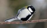 BIRD - TIT - GREAT TIT - KINOHIROBA PARK, ABASHIRI HOKKAIDO JAPAN (8).JPG
