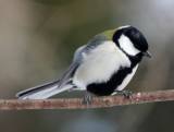 BIRD - TIT - GREAT TIT - KINOHIROBA PARK, ABASHIRI HOKKAIDO JAPAN (9).JPG