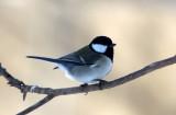 BIRD - TIT - GREAT TIT - YOROUSHI ONSEN, DAIICHI SPA, HOKKAIDO JAPAN (15).JPG