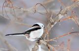 BIRD - TIT - LONG-TAILED TIT - KUSSHARO LAKE - HOKKAIDO JAPAN (3).JPG
