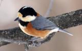 BIRD - TIT - VARIED TIT - KINOHIROBA PARK - ABASHIRI - HOKKAIDO JAPAN (5).JPG