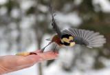 BIRD - TIT - VARIED TIT - KINOHIROBA PARK - ABASHIRI - HOKKAIDO JAPAN.JPG