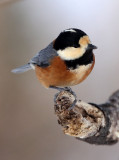 BIRD - TIT - VARIED TIT - KINOHIROBA PARK, ABASHIRI HOKKAIDO JAPAN (1).JPG