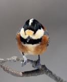BIRD - TIT - VARIED TIT - KINOHIROBA PARK, ABASHIRI HOKKAIDO JAPAN (12).JPG