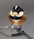 BIRD - TIT - VARIED TIT - KINOHIROBA PARK, ABASHIRI HOKKAIDO JAPAN (13).JPG