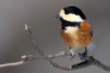 BIRD - TIT - VARIED TIT - KINOHIROBA PARK, ABASHIRI HOKKAIDO JAPAN (17).JPG
