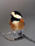 BIRD - TIT - VARIED TIT - KINOHIROBA PARK, ABASHIRI HOKKAIDO JAPAN (19).JPG